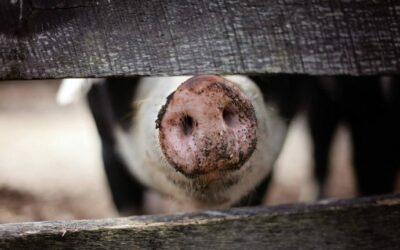 Silvester: Schwein – einmal anders!